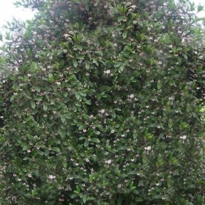 Blueberry Ash - tree - hedge
