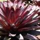 Bromeliad 'Silver Plum' - Alcanterea - plantsonkew.com