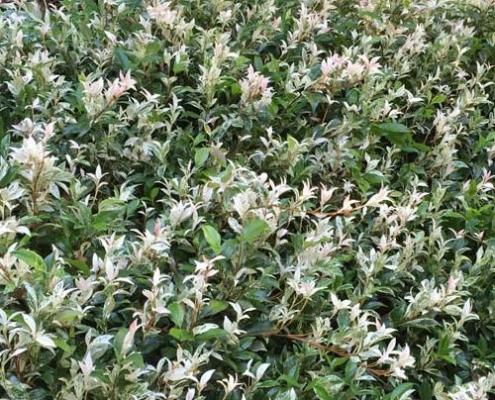 Chinese star jasmine - Trachelospermum-Jasminoides-Tricolour- plantsonkew.com