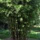 Cream Stripe bamboo - plantsonkew.com