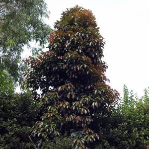 Eumundi Quondong - Elaeocarpus-eumundi - plantsonkew.com