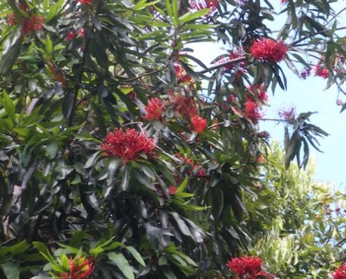 Firewheel tree - Stenocarpus - plantsonkew.com
