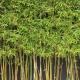 Gracilis bamboo - plantsonkew.com