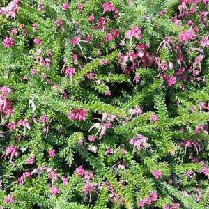 Grevillea- Mt.Tamboritha - plantsonkew.com