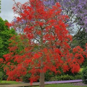 Illawarra Flame Tree - Brachychiton - plantsonkew.com