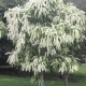 ivory curl flower - plantsonkew.com