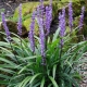 Liriope 'Giant' - Liriope muscari 'Giant' - plantsonkew.com