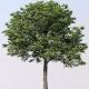 tuckeroo tree - plantsonkew.com