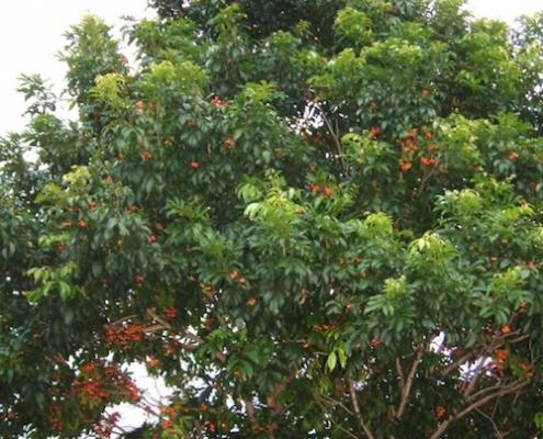 Tulipwood - Harpullia pendula - plantsonkew.com