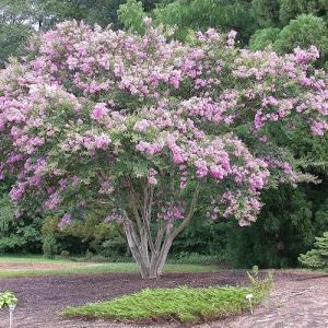 Crepe Myrtle 'Lipan'  - plantsonkew.com