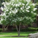 crepe myrtle 'Natchez' - plantsonkew.com
