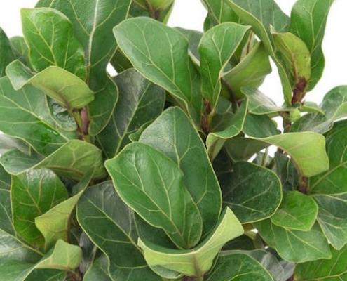 dwarf fiddle leaf fig - Ficus lyrata 'Bambino' - plantsonkew.com