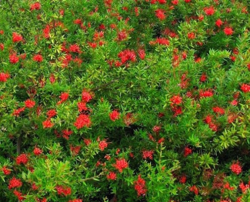 grevillea 'new Blood' ground cover -plantsonkew.com