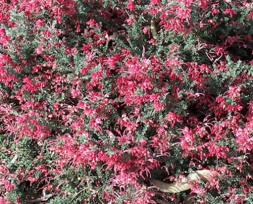 grevillea 'Winter Delight - ground cover - plantsonkew.com