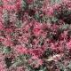 grevillea 'Winter Delight - ground cover - plantsonkew.com