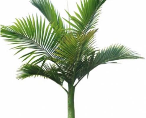 Alexandra palm - plantsonkew.com