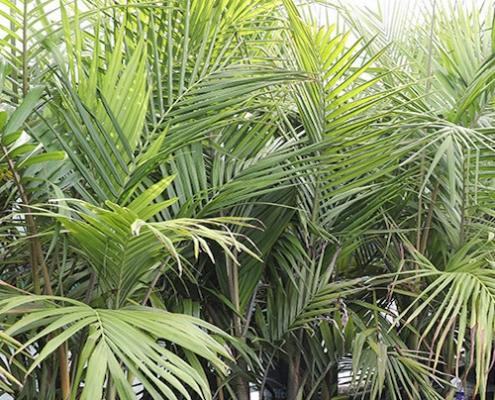 bangalow palm - plantsonkew.com