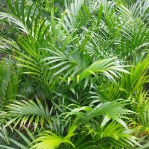 cascade palm - palmsonkew.com