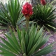 gymea lily for sale - plantsonkew.com