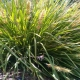 basket grass - Lomandra longifolia - plantsonkew.com
