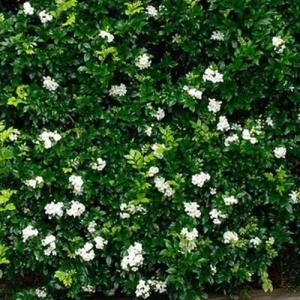 murraya - Orange Jessamine - plantsonkew.com