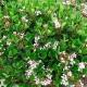 Snow Maiden - Rhaphiolepsis - hedge