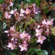 Spring TIme - Rhaphiolepis - plantsonkew.com