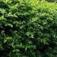 viburnum - emerald lustre - hedge - plantsonkew.com