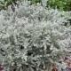 Westringia 'Smokey' - plantsonkew.com