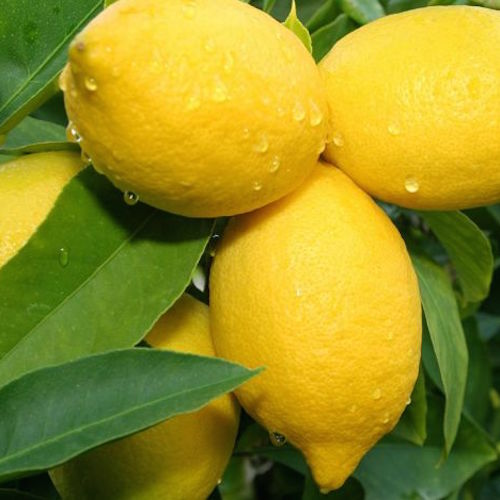 citrus trees for sale - plantsonkew.com