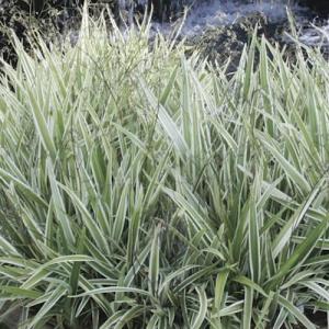 dianella variegated - plantsonkew.com