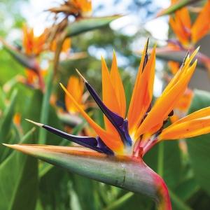 bird of paradise, orange - plantsonkew.com