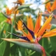 bird of paradise, orange - plantsonkew.com