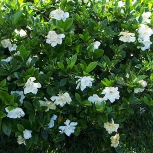 gardenia - florida - plantsonkew.com