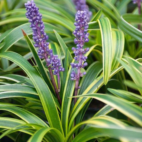 grasses - liriope muscari variegated - plantsonkew.com