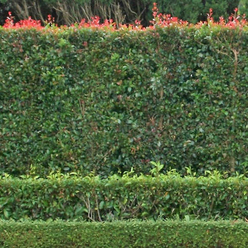 HEDGE AND SCREENING P{LANTS FOR SALE MID NORTH COAST NURSERY plantsonkew.com