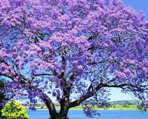 jacaranda - plantsonkew.com