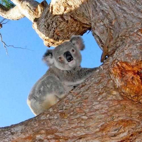 koala food trees for sale mid north coast new plantsonkew.com