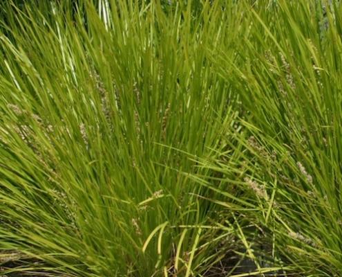 lime tuff - Lomandra longifolia - plantsonkew.com