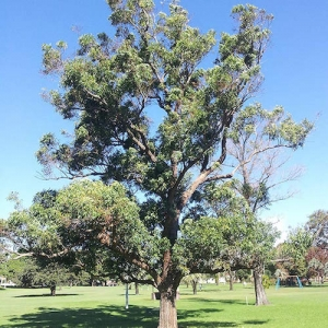 koala food tree - swamp mahogany
