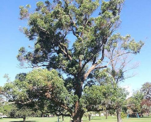 koala food tree - swamp mahogany