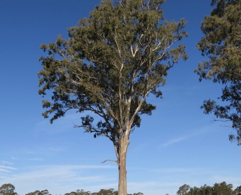 swamp mahogany - koala food tree - lwk.net.au