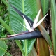 Bird of Paradise -white, giant - for sale plantsonkew.com