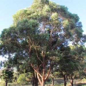 tallowwood - koala food tree - plantsonkew.com