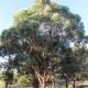 tallowwood - goal food tree - plantsonkew.com