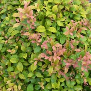 Acmena smithii 'Allyn Magic' dwarf - plantsonkew.com