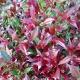 Acmena smithii 'Cherry Surprise' - plantsonkew.com