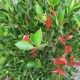 Acmena smithii 'Firescreen' - plantsonkew.com