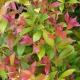 Acmena 'Sunrise' - plantsonkew.com