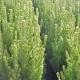 Adenanthos 'Silver Silk' - plantsonkew.com